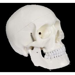 Crâne classique grandeur nature - 3 parties